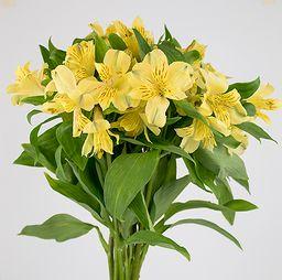 Alstromeria amarilla 10 un