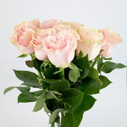 Rosas rosadas 10 un